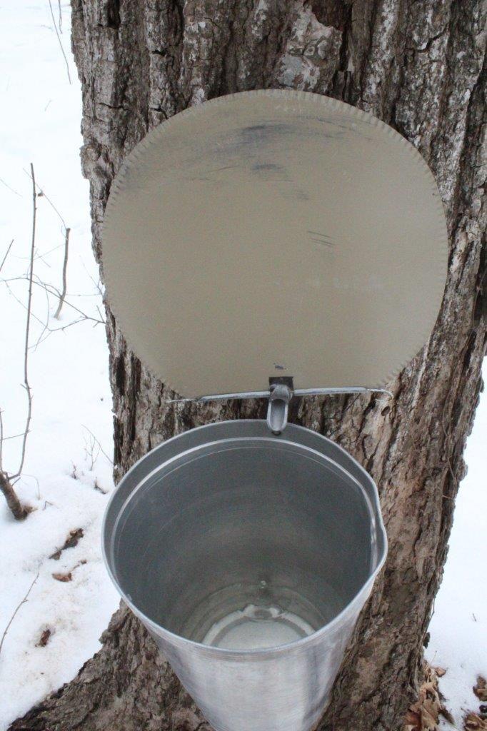 """La récolte de l'eau d'érable dans une """"chaudière"""" par l'intermédiaire d'un """"chalumeau""""."""